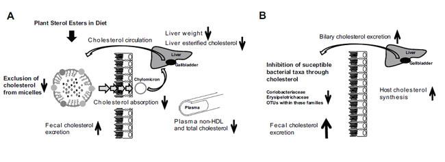 Секреция холестерина влияет на микробиоту кишечника