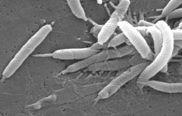 Хеликобактерная инфекция усиливает влияние H. Pylori на развитие рака желудка