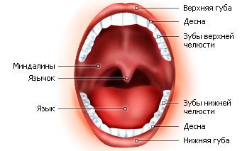 Во рту не только зубы…