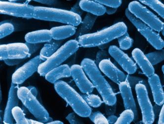 От ожирения спасут таблетки с бактериями
