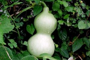 Бутылочная тыква – секретный продукт для пищеварения