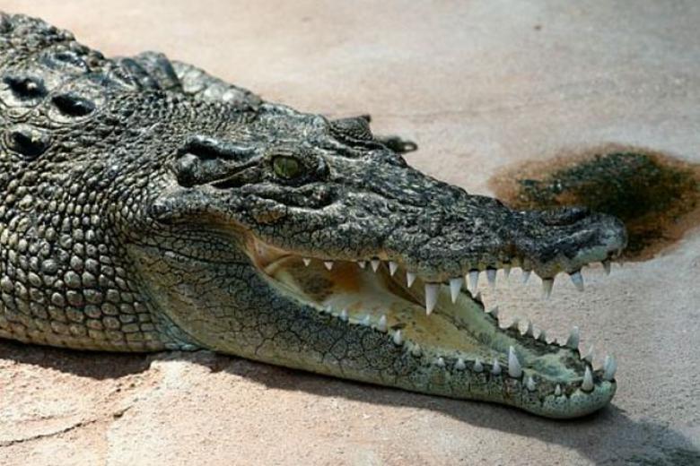 Кровь крокодила вылечит молочницу