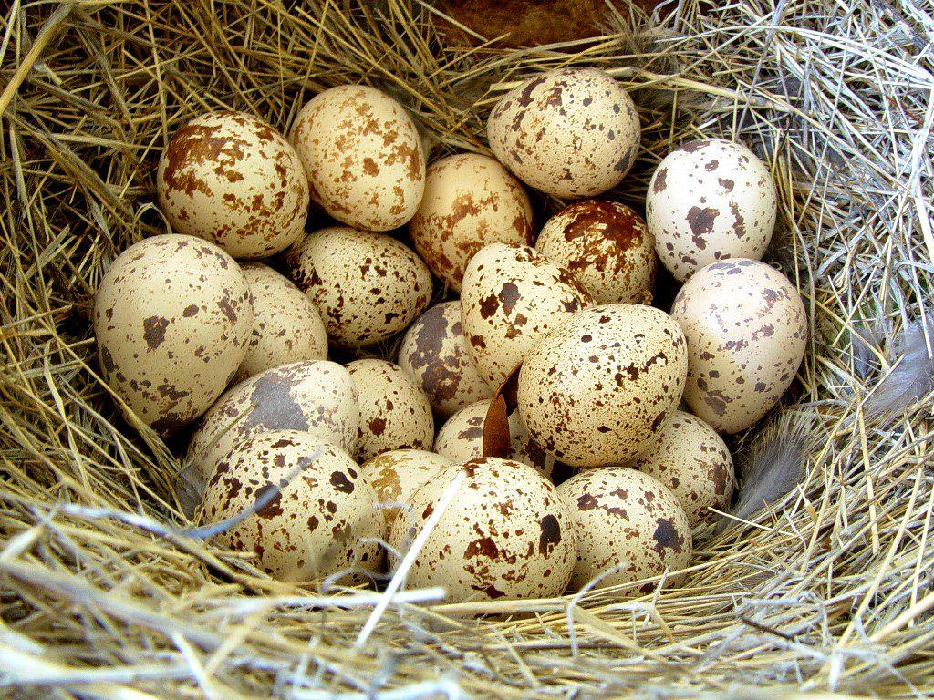 Перепелиные яйца при язве желудка