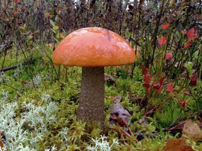 Съедобный гриб может вызвать отравление