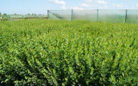 Создание питомнического хозяйства для реализации посадочного материала хвойных пород и декоративных растений