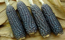 Чем полезна синяя кукуруза?