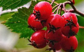 Заболевания желудочно-кишечного тракта: 12 рецептов на основе боярышника в помощь