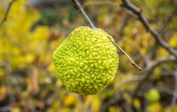 Свойства адамова яблока