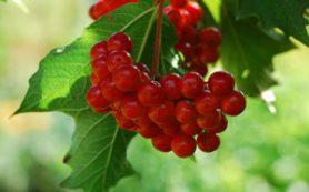 Калина – эффективное средство от гастрита и язвы