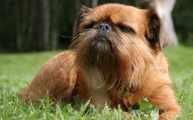 Как выбрать нелиняющую собаку