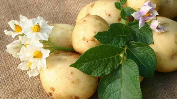 Язву желудка и гастрит можно лечить с помощью сока картофеля