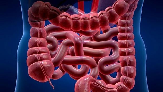 Медики вырастили мини-кишечник для изучения процесса пищеварения