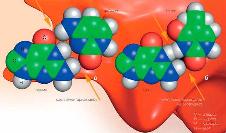 Фермент NEIL1 препятствует возникновению рака печени