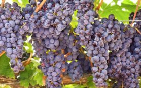 Экстракт виноградных косточек защищает от воспаления